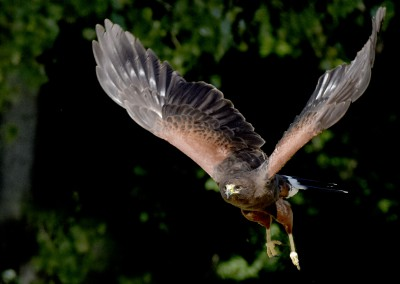 Harris Hawk On The Prowl