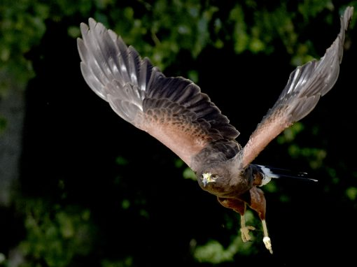 Harris Hawk On The Prowl