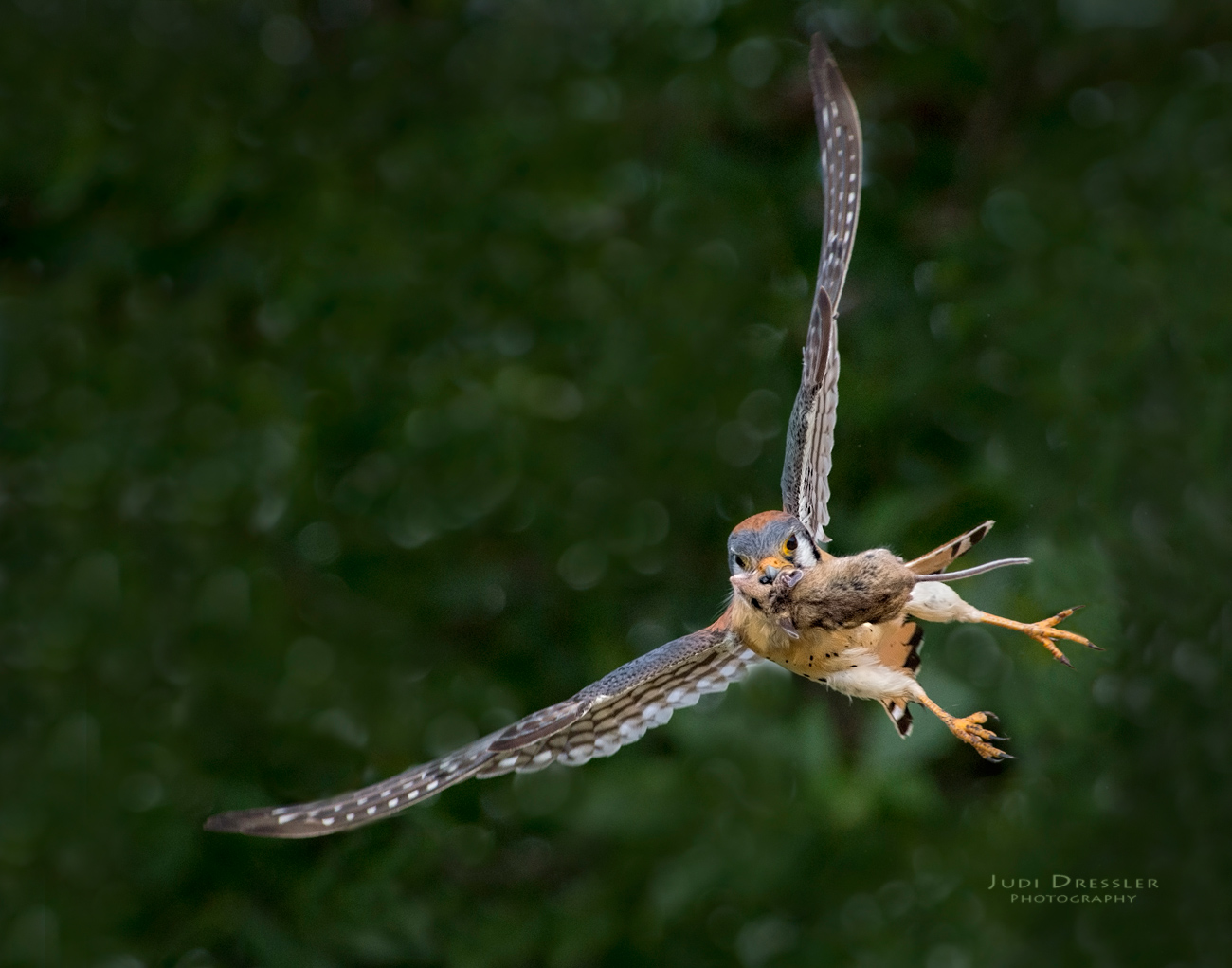 Flying Kestrel with Mouse