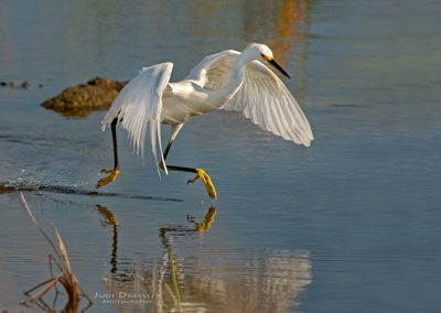Snowy Egret On The Move