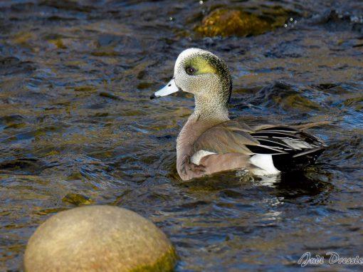 Swim like a Duck