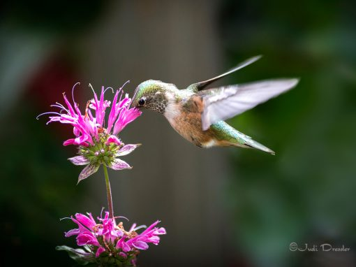 Hummingbird Beauty