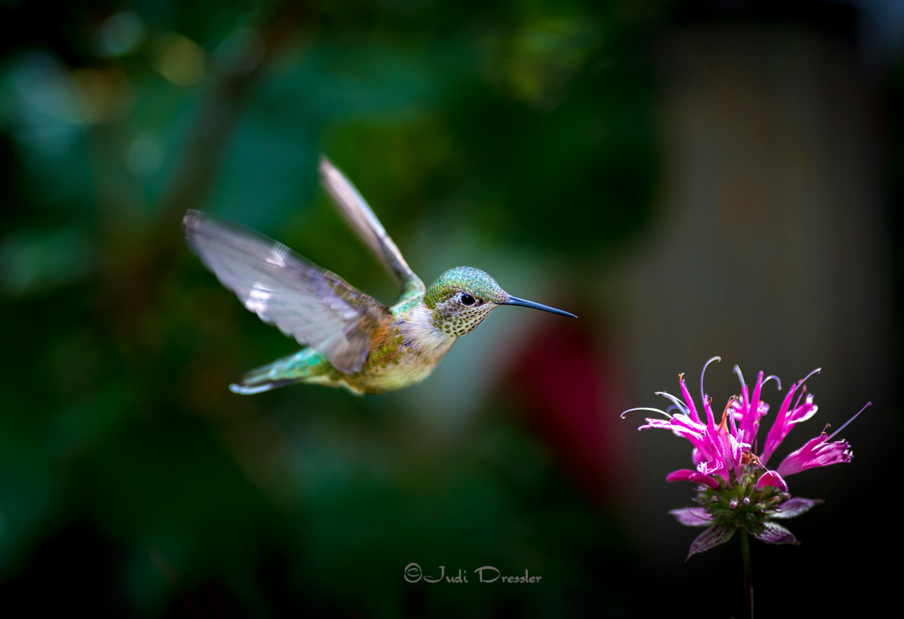 Hummingbird Jewel