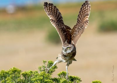 Burrowing Owl Take-off