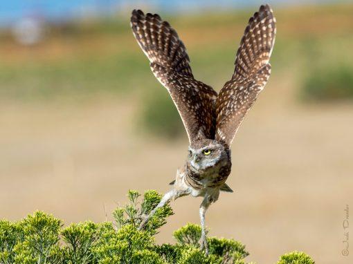 Burrowing Owl Take-off