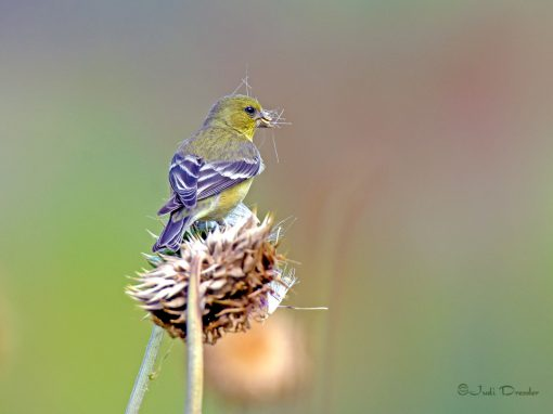 Goldfinch On A Thistle