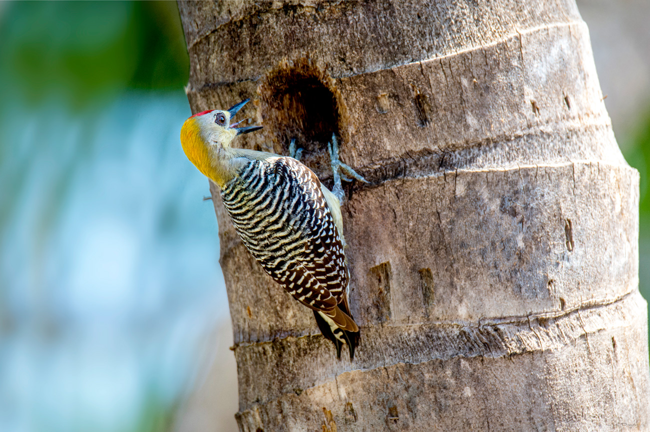 Woodpecker At The Nest
