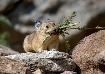 Busy As A Pika
