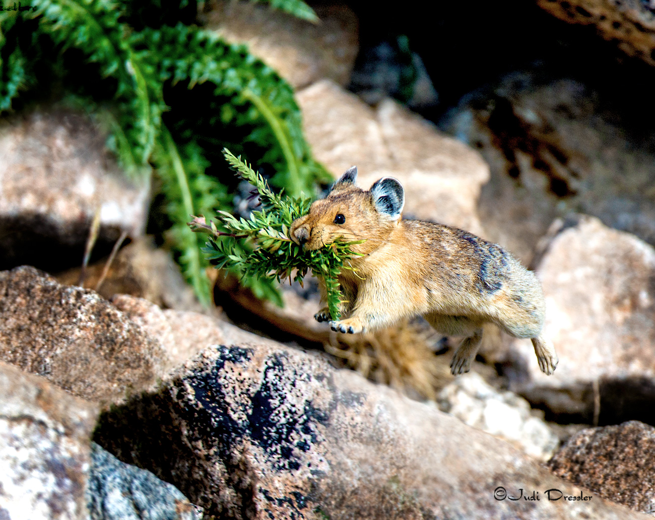 American Pika running with food