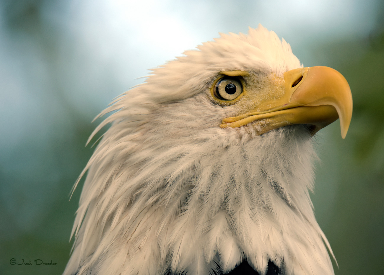 Regal Bald Eagle Portrait