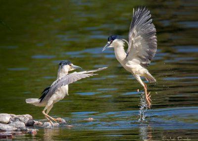 Heron Ballet