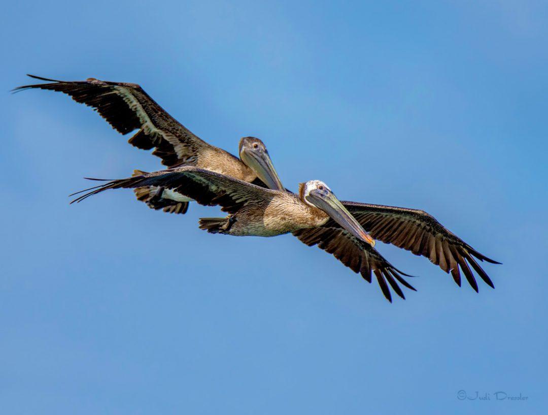 Brown Pelicans looking for Dinner