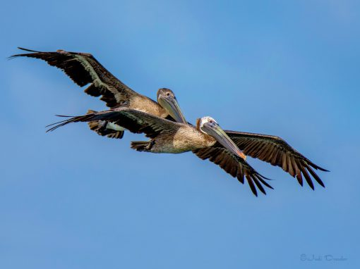 Brown Pelicans looking for Dinner