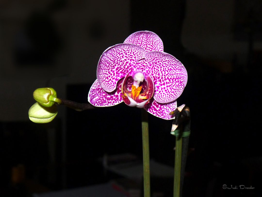 Orchid Flower in Bloom