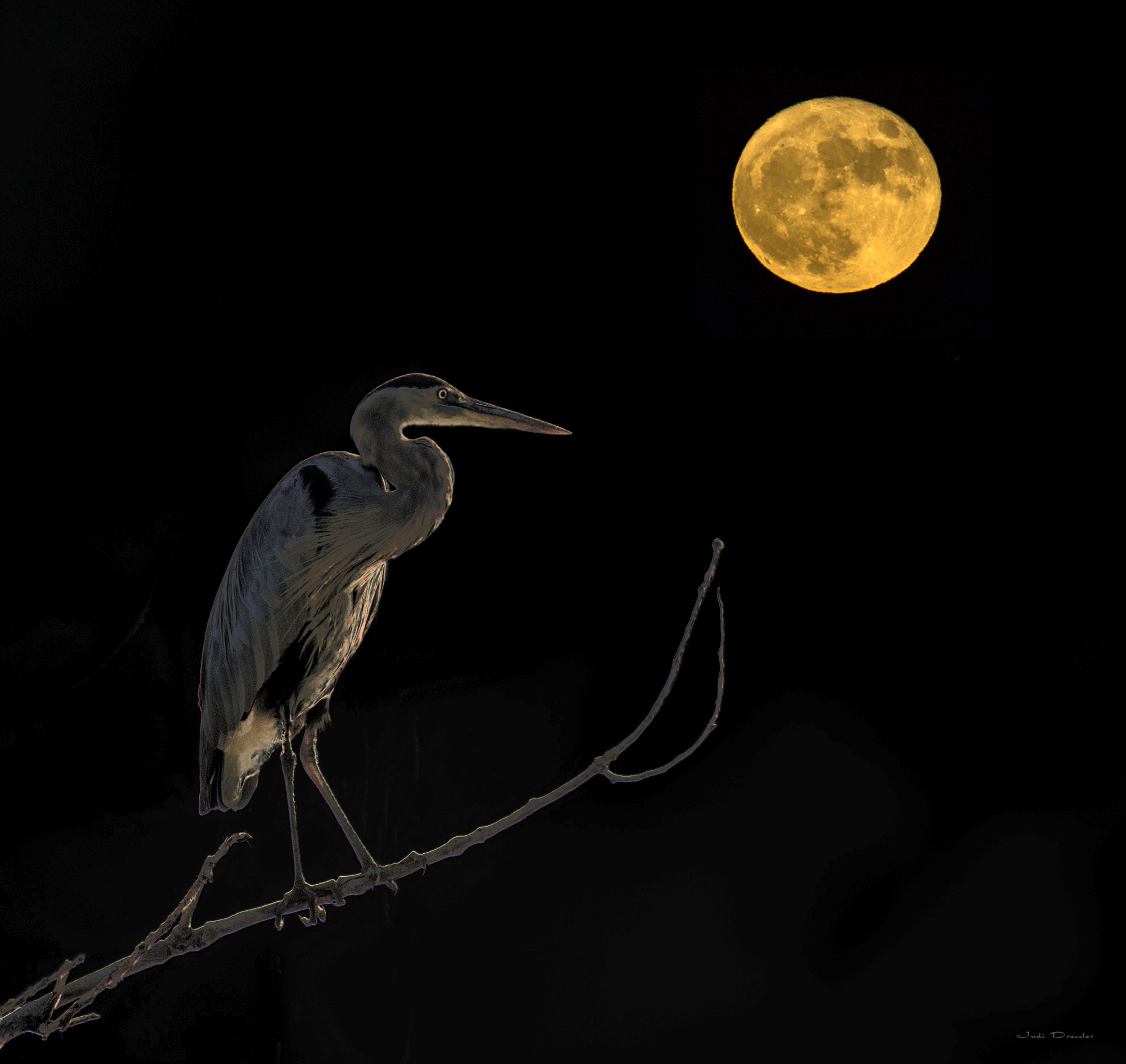 Great Blue Heron with Moon