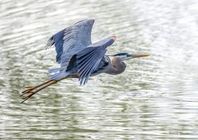 Majestic Great Blue Heron