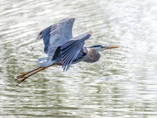 Majestic Great Blue Heron
