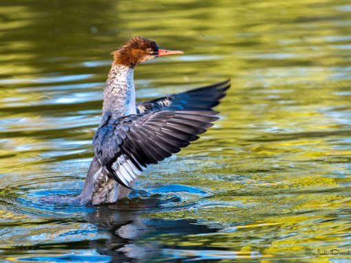 Merganser in the Sun