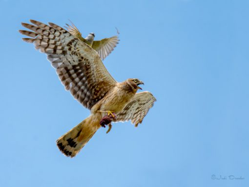 Northern Harrier with Lunch