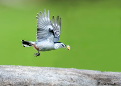 Flying Nuthatch