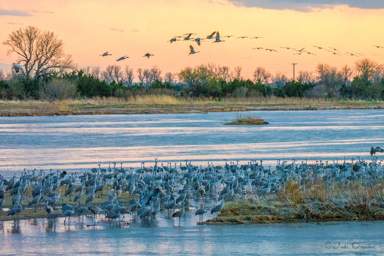 Sandhill Cranes on the River