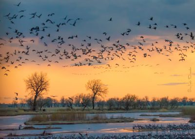 Sandhill Cranes at Sunset Scene