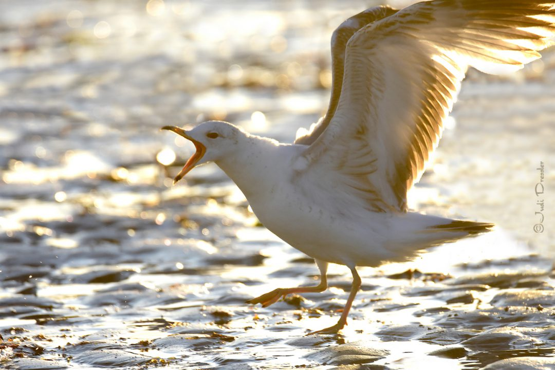 Sassy Gull