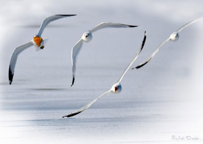 Seagulls Flying with Loot