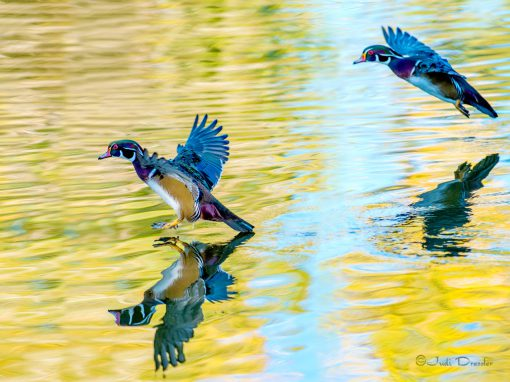 Flying Wood Ducks