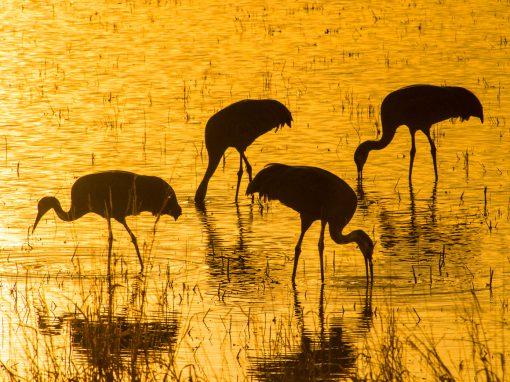 Sandhill Cranes on Golden Pond