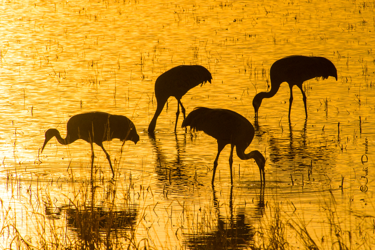 Sandhill Cranes on Golden Pond