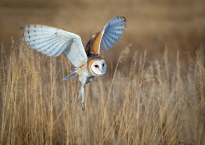 Barn Owl Flying in the Grass