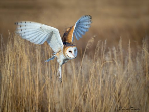 Barn Owl Flying in the Grass