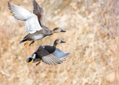 Flying Gadwall couple