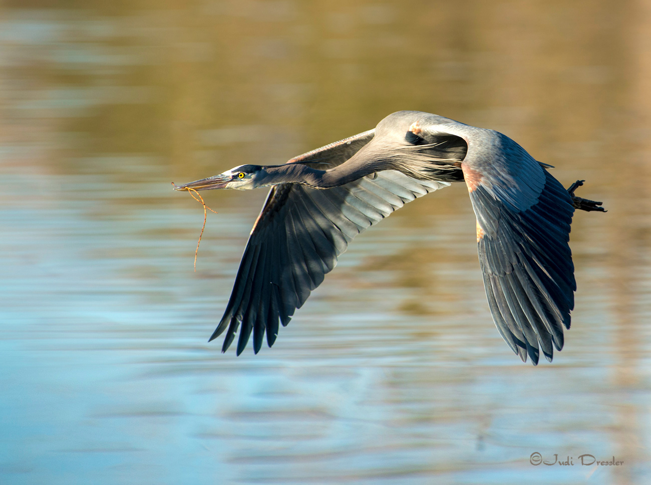 Flying Great Blue