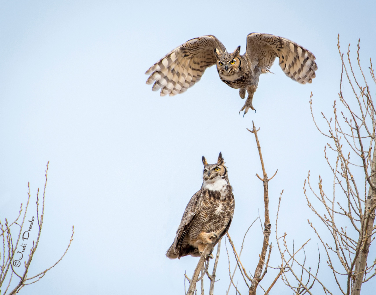 Great Horned Owl Couple