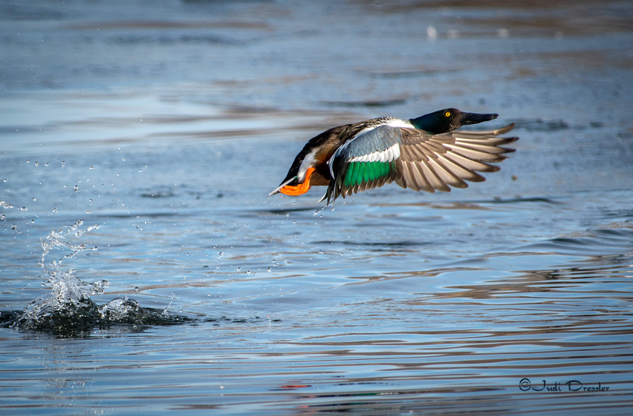 Flying Northern Shoveler