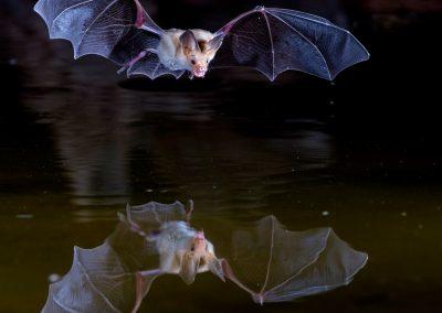 Bat Flying Over Pond