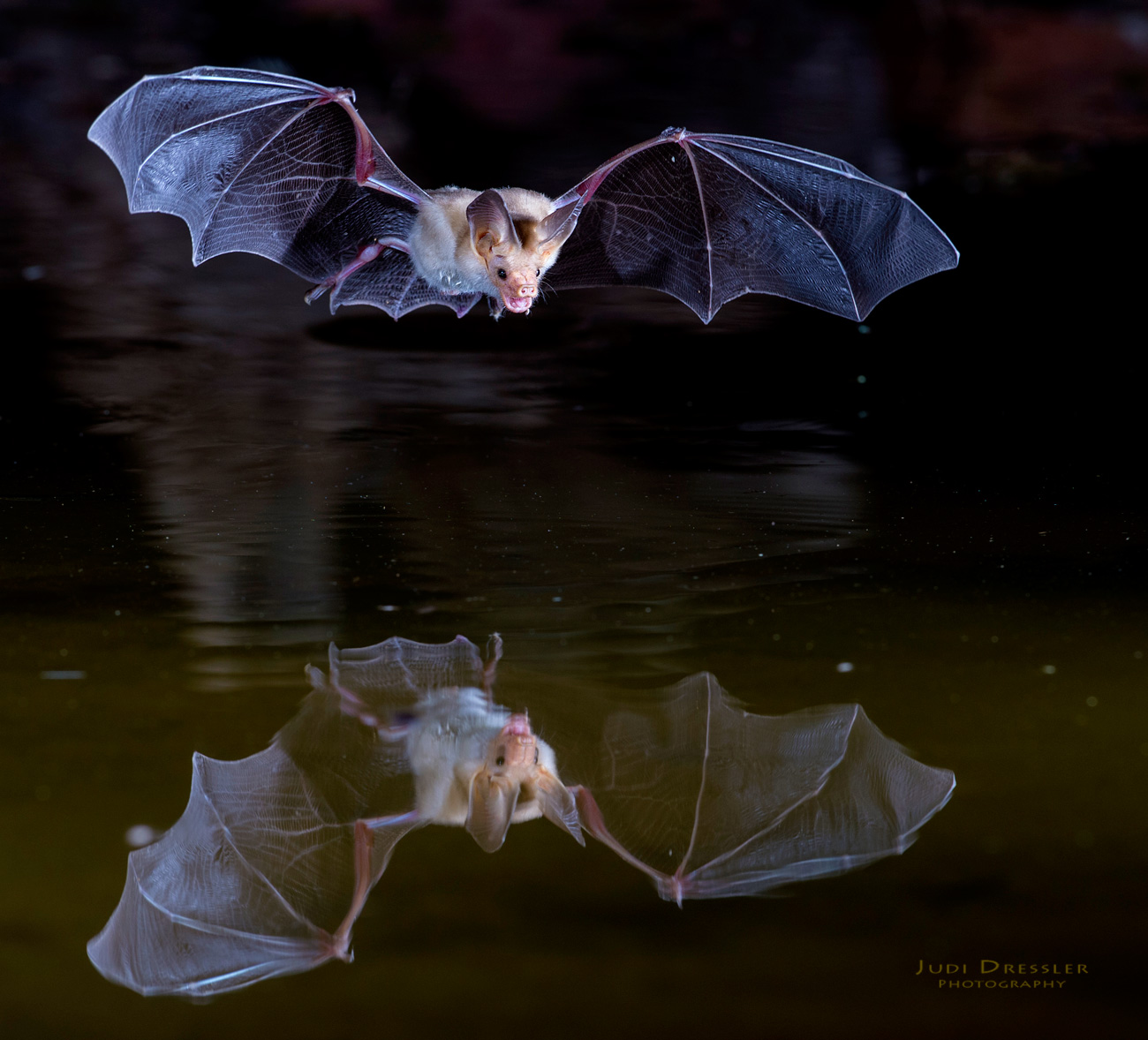 Bat Flying Over Pond