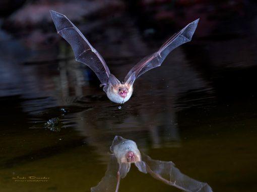 Pallid Bat on Pond