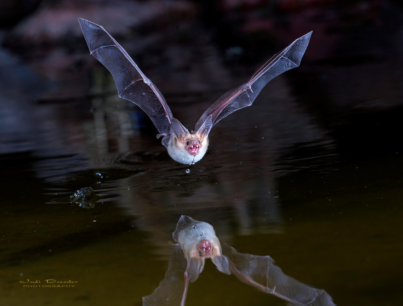 Pallid Bat on Pond
