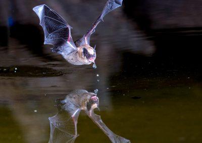 Bat and Reflection