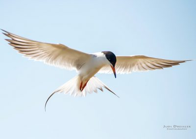Hovering Tern
