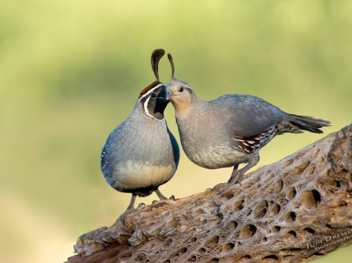 Gambel's Quails in Love