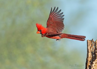 Cardinal on a mission