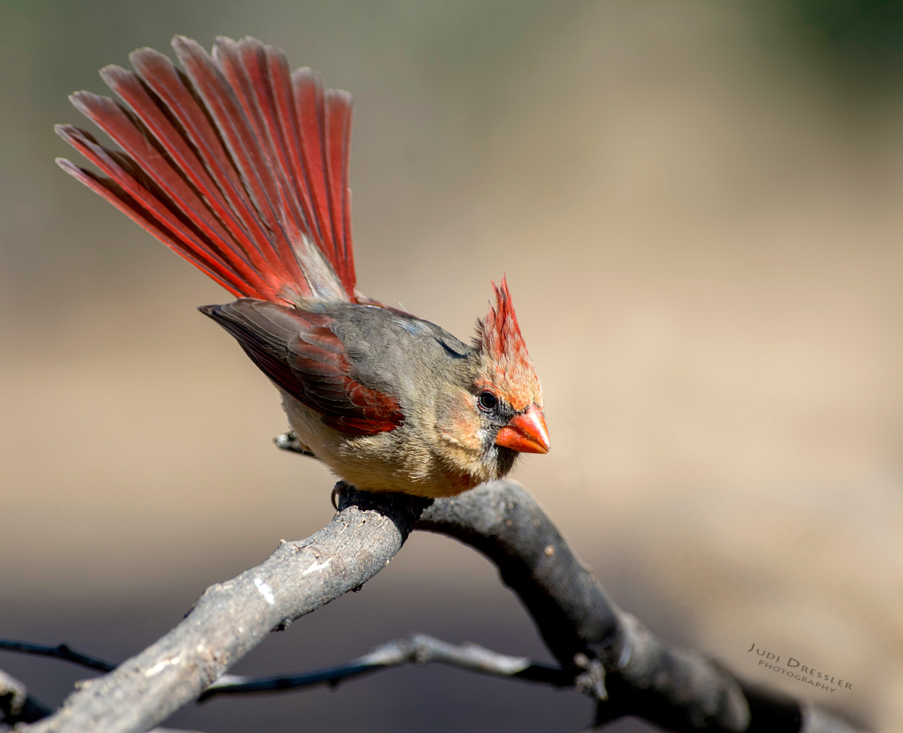 Ms Northern Cardinal showing off her tail