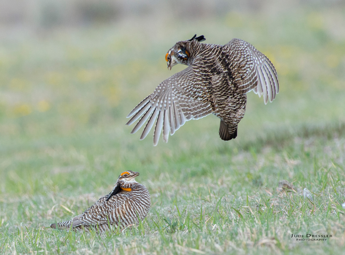 Fighting Prairie-chickens