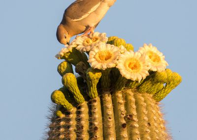 Dove On Saguaro