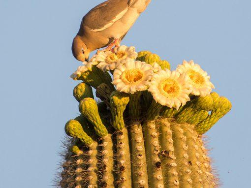 Dove On Saguaro