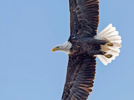 Soaring Bald Eagle